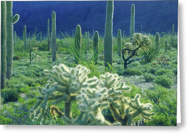 Usa, Arizona, Organ Pipe Cactus Greeting Card by Jaynes Gallery
