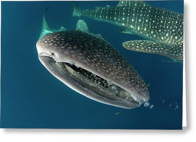 Whale Shark, Cenderawasih Bay, West Greeting Card