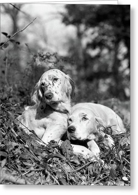 1920s Two Sweet English Setters Laying Greeting Card