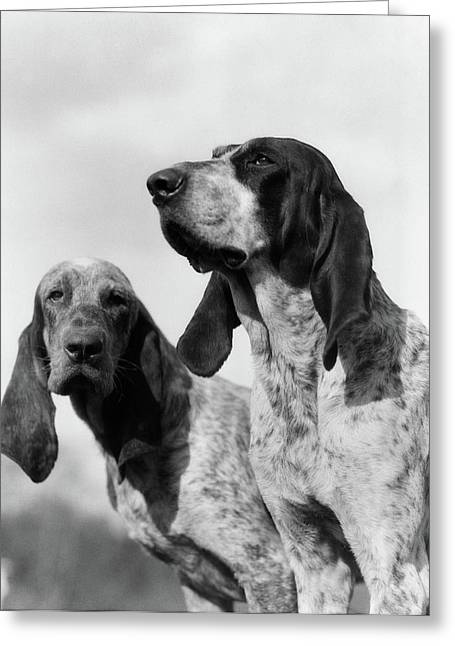 1930s Portrait Two French Foxhounds Greeting Card