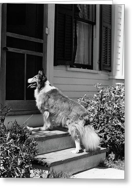 1930s Rough Scotch Collie Dog Standing Greeting Card