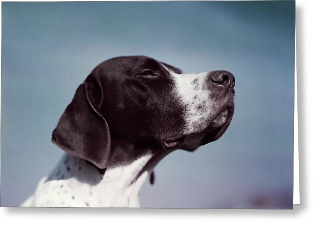 1950s Portrait Of Brown & White Pointer Greeting Card