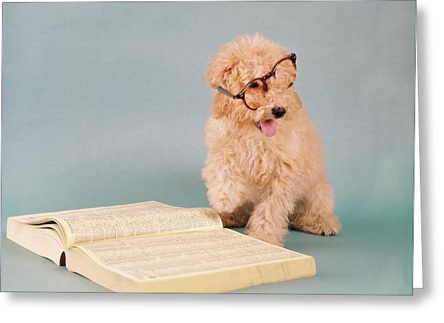 1960s Apricot Cream Colored Poodle Greeting Card