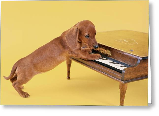 1960s Dachshund Puppy Playing Toy Piano Greeting Card