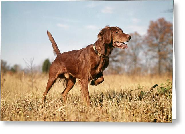 1960s Irish Setter Hunting Dog On Point Greeting Card