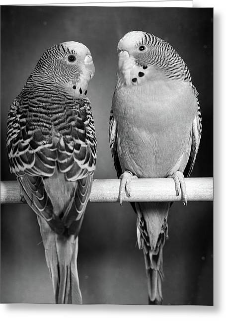 1960s Pair Of Parakeets Perched Greeting Card