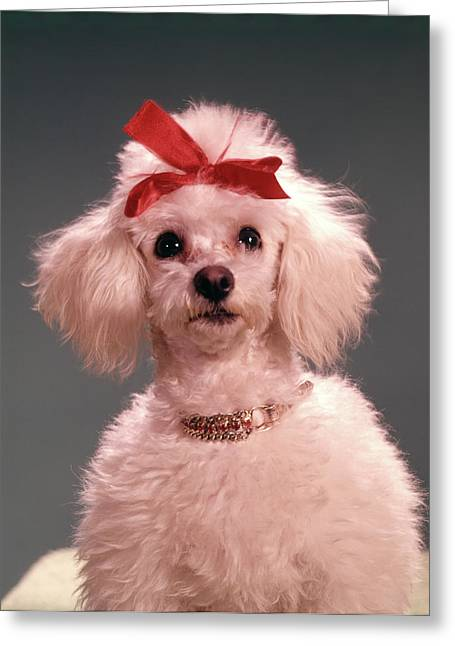 1960s White Poodle Wearing Gold Greeting Card
