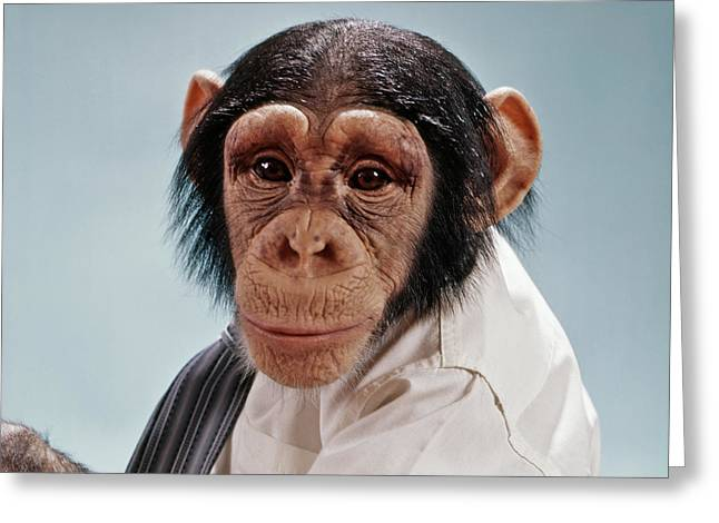 1970s Close-up Face Chimpanzee Looking Greeting Card