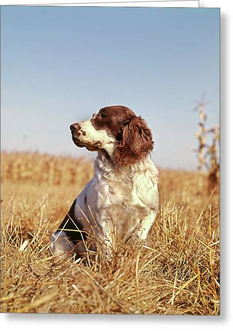 1970s Hunting Dog In Autumn Field Greeting Card