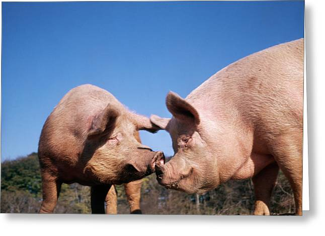 1980s Two Pigs Nose To Nose Greeting Card