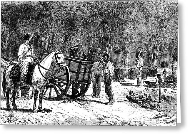 19th Century Coffee Harvest Greeting Card by Collection Abecasis