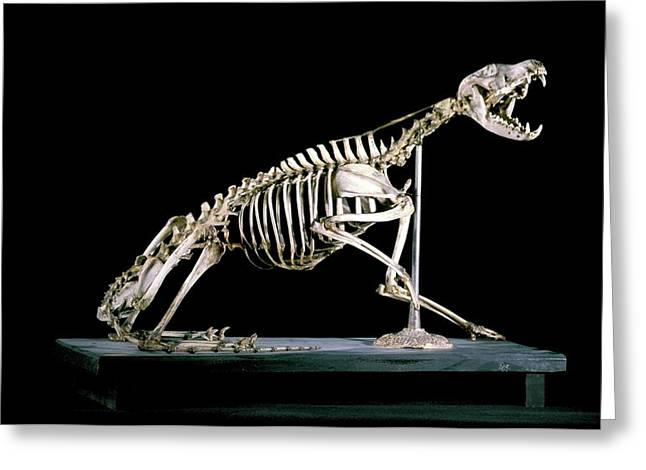 19th Century Fox Skeleton Greeting Card