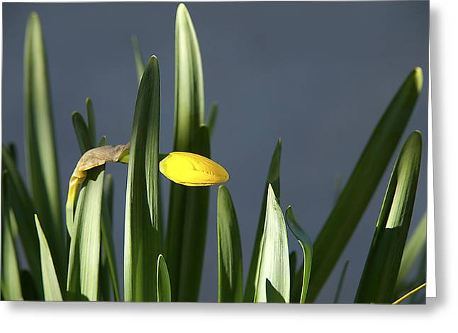Greeting Card featuring the photograph 1st Daff by Joe Schofield