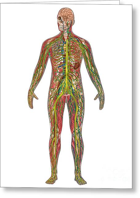 5 Body Systems In Male Anatomy Greeting Card by Gwen Shockey