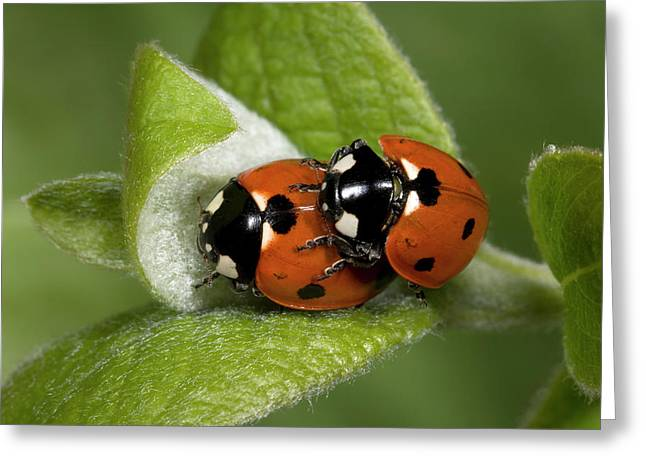 7-spot Ladybirds Greeting Card by Nigel Downer