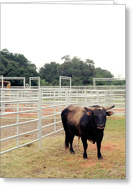 A Bull Waits At A Prca Professional Greeting Card