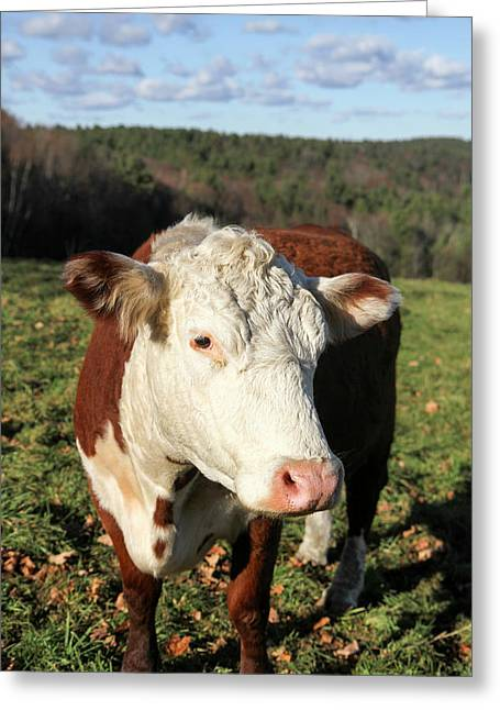 A Cow At Wheel-view Farm, Shelburne Greeting Card