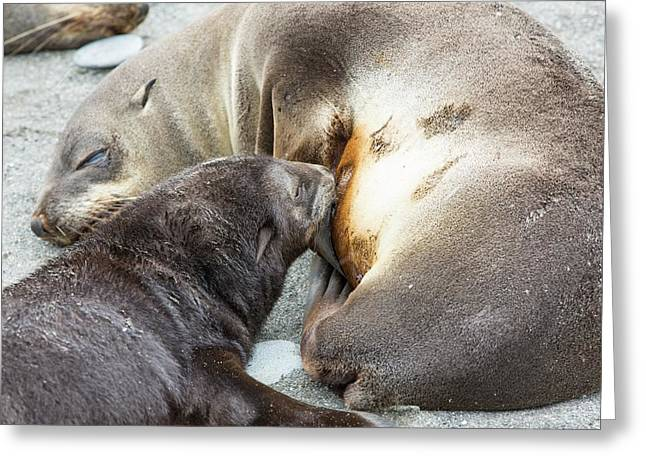 A Female Antarctic Fur Seal Greeting Card by Ashley Cooper