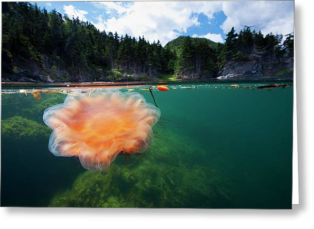A Lions Mane Jellyfish Drifts Greeting Card