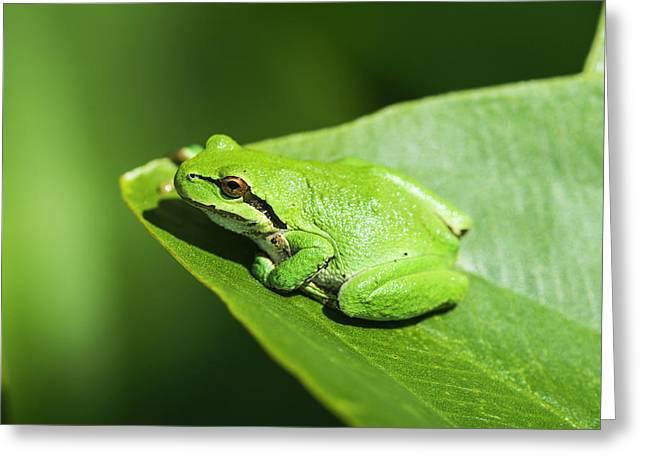 A Pacific Tree Frog  Pseudacris Regilla Greeting Card by Robert L. Potts