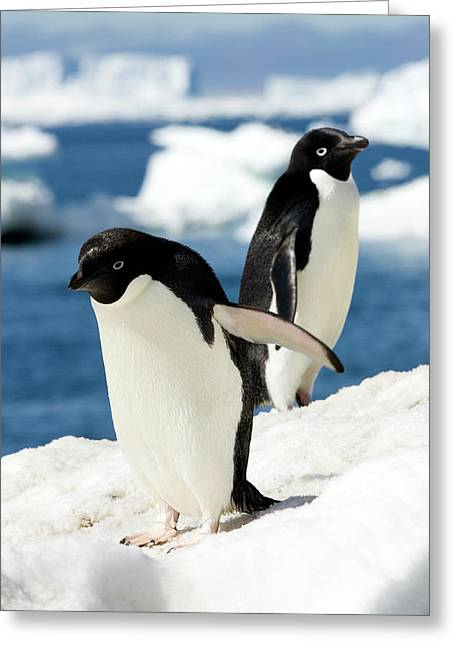 Adelie Penguins Greeting Card by William Ervin/science Photo Library