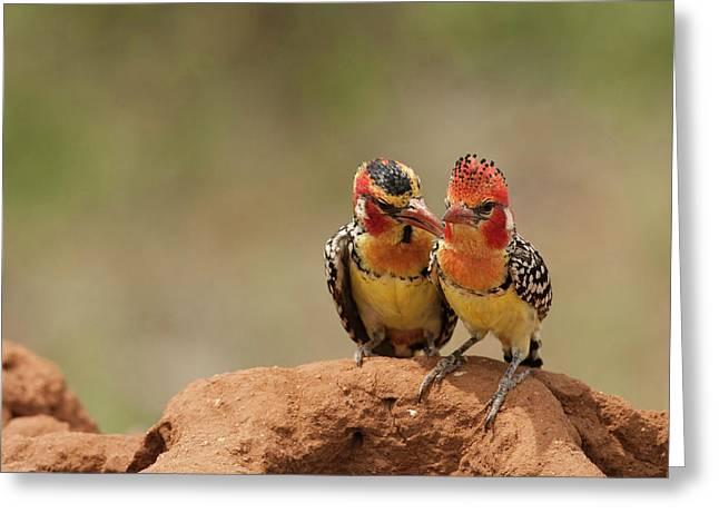 Africa, Kenya, Samburu Game Reserve; Greeting Card by Joe and Mary Ann Mcdonald