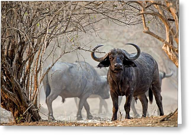 African Buffalo Greeting Card by Science Photo Library