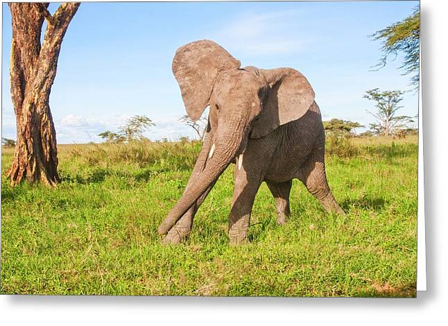 African Elephant Loxodonta Africana Greeting Card by Photostock-israel