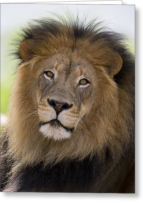 African Lion Male Greeting Card