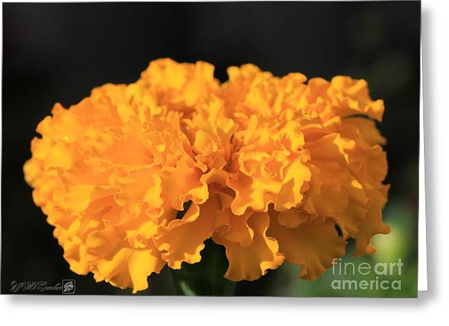African Marigold Named Crackerjack Gold Greeting Card