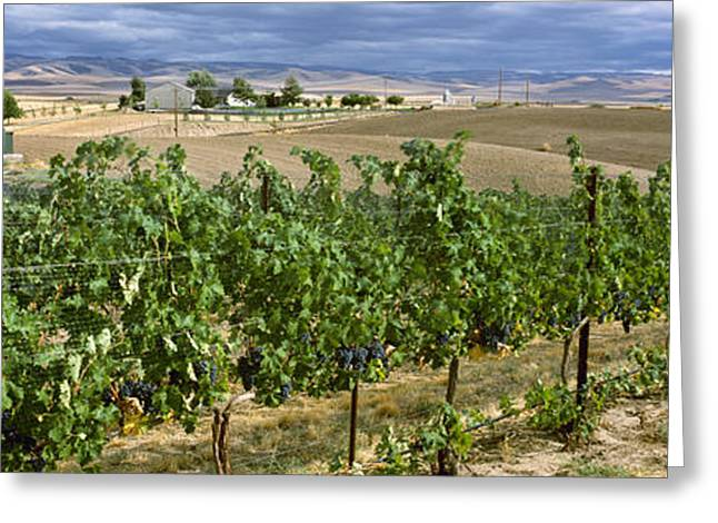 Agriculture - Vineyard Of Mature Greeting Card