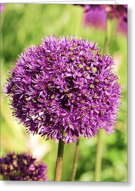 Allium Hollandicum 'purple Sensation' Greeting Card by Adrian Thomas