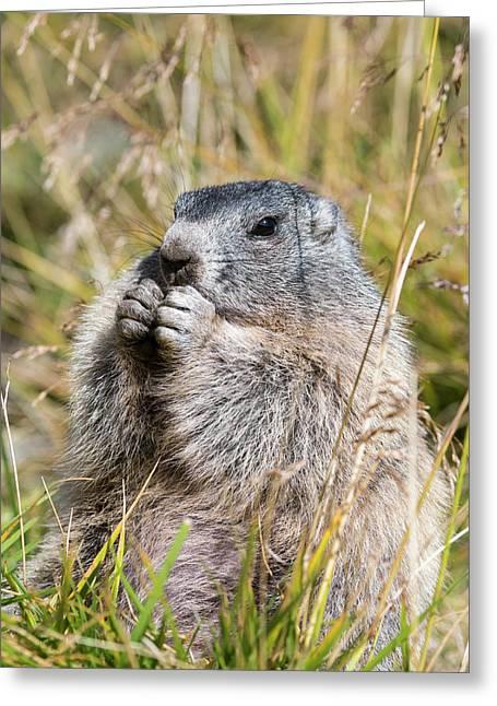 Alpine Marmot (marmota Marmota Greeting Card by Martin Zwick