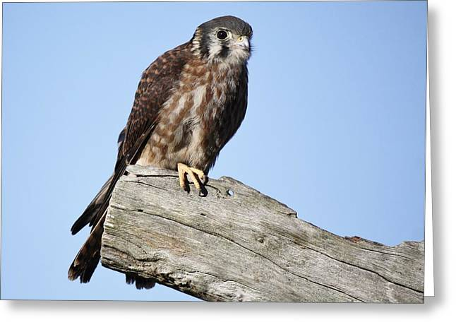 American Kestrel Greeting Card by Paulette Thomas