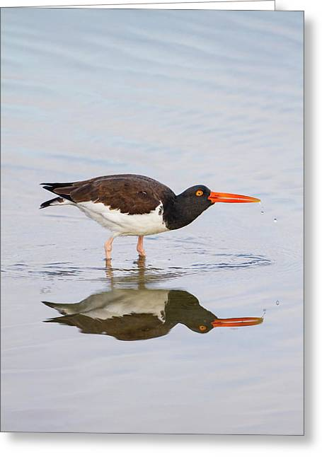American Oystercatcher (haematopus Greeting Card by Larry Ditto