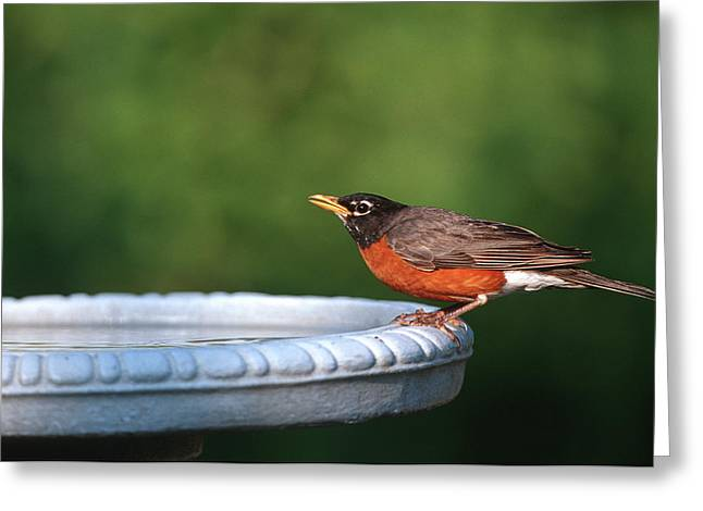 American Robin (turdus Migratorius Greeting Card by Richard and Susan Day