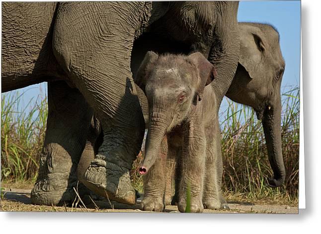 An Indian Elephant Family In Kaziranga Greeting Card