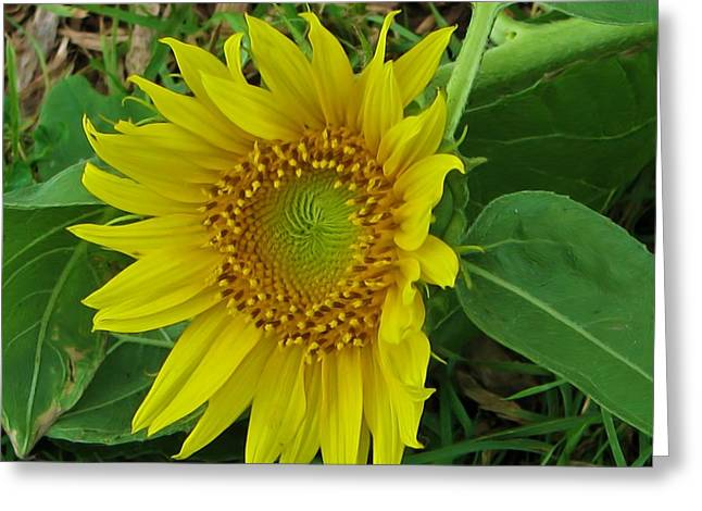 Another Sunflower Greeting Card by Victoria Sheldon