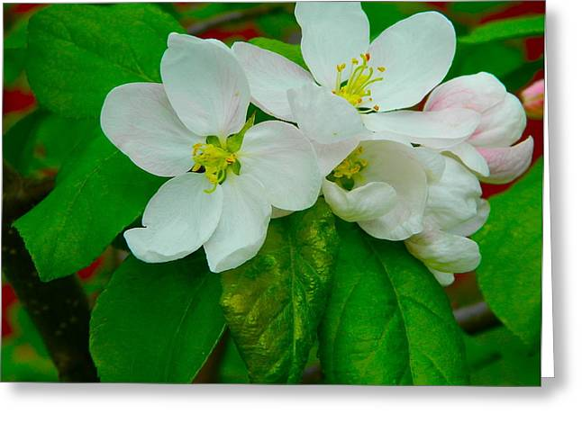 Greeting Card featuring the photograph Apple Blossoms by Johanna Bruwer