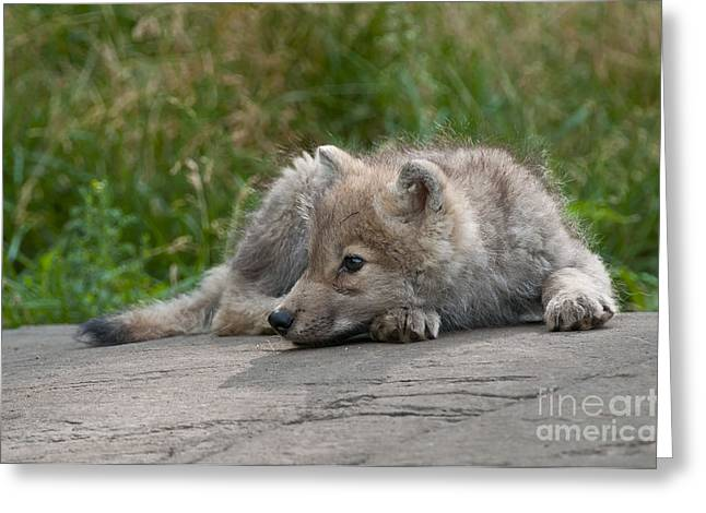 Arctic Wolf Pup Pictures Greeting Card