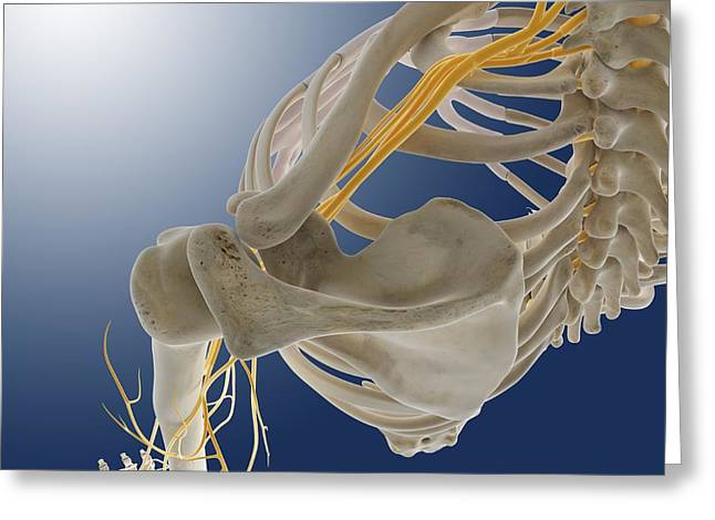 Arm Nerves, Artwork Greeting Card by Science Photo Library