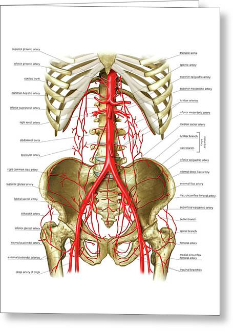 Arterial System Of Gastrointestinal Tract Greeting Card by Asklepios Medical Atlas