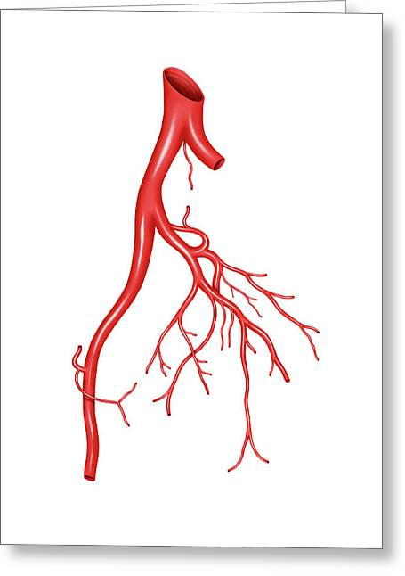 Arterial System Of The Abdomen Greeting Card