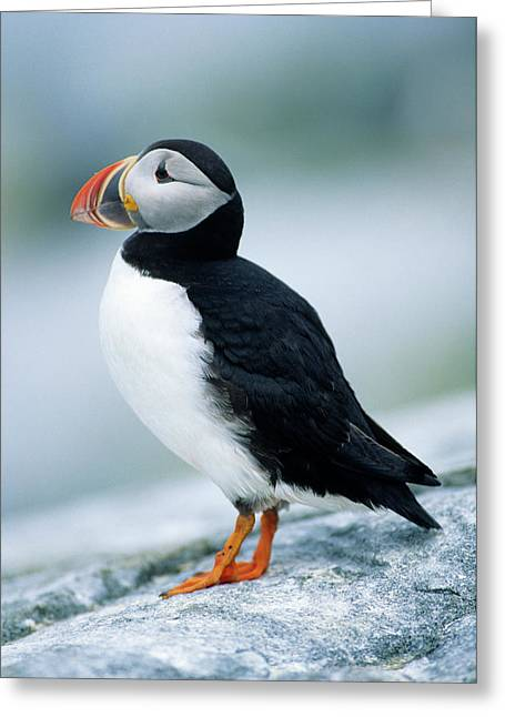 Atlantic Puffin (fratercula Arctica Greeting Card by Richard and Susan Day
