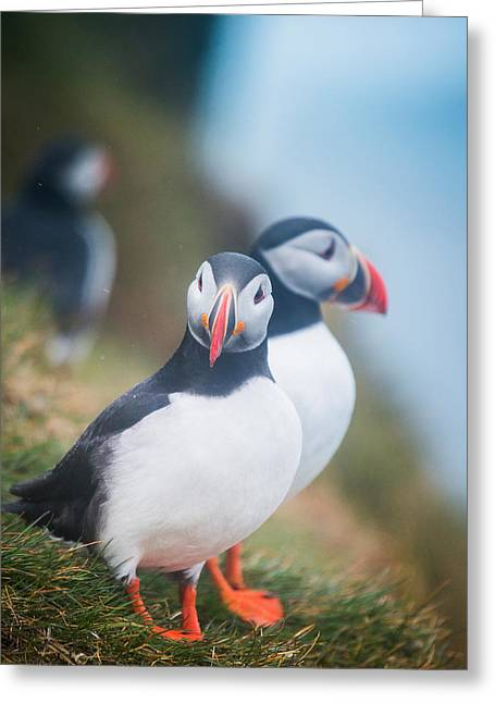 Atlantic Puffins Fratercula Arctica Greeting Card by Panoramic Images