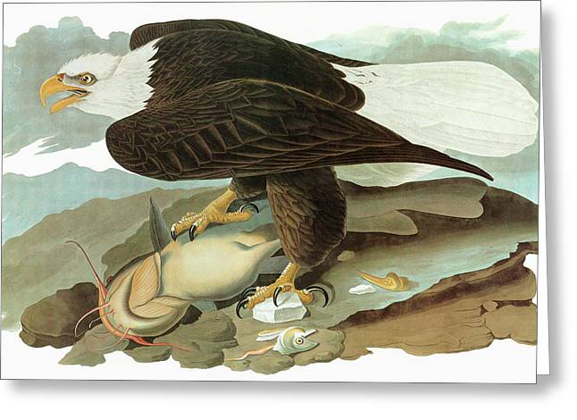Audubon Eagle Greeting Card