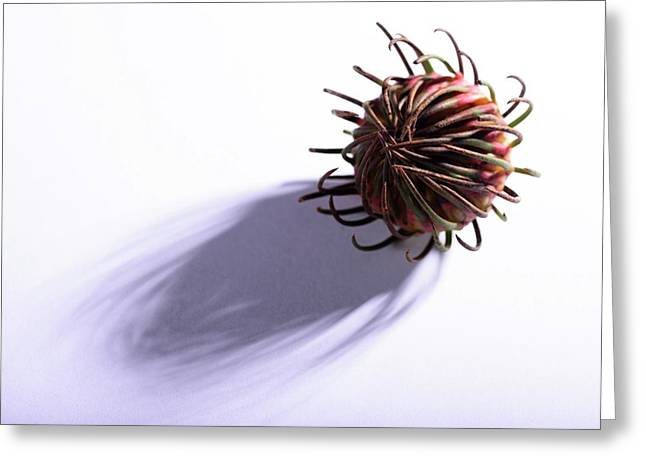 Aulax Cancellata Seed Head Greeting Card
