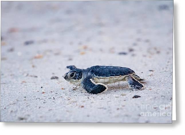 Baby Green Sea Turtle Amelia Island Florida Greeting Card