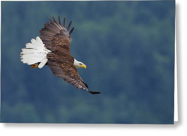 Bald Eagle In Flight Greeting Card by Ken Archer