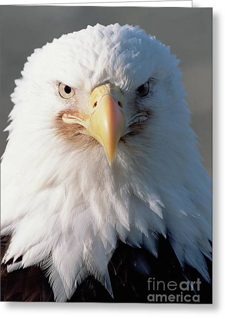 Bald Eagle Portrait Alaska Greeting Card by Yva Momatiuk John Eastcott